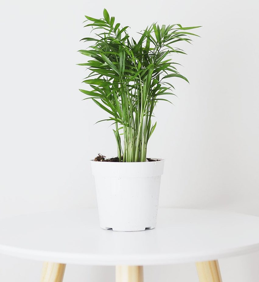 indoor parlor palm plant