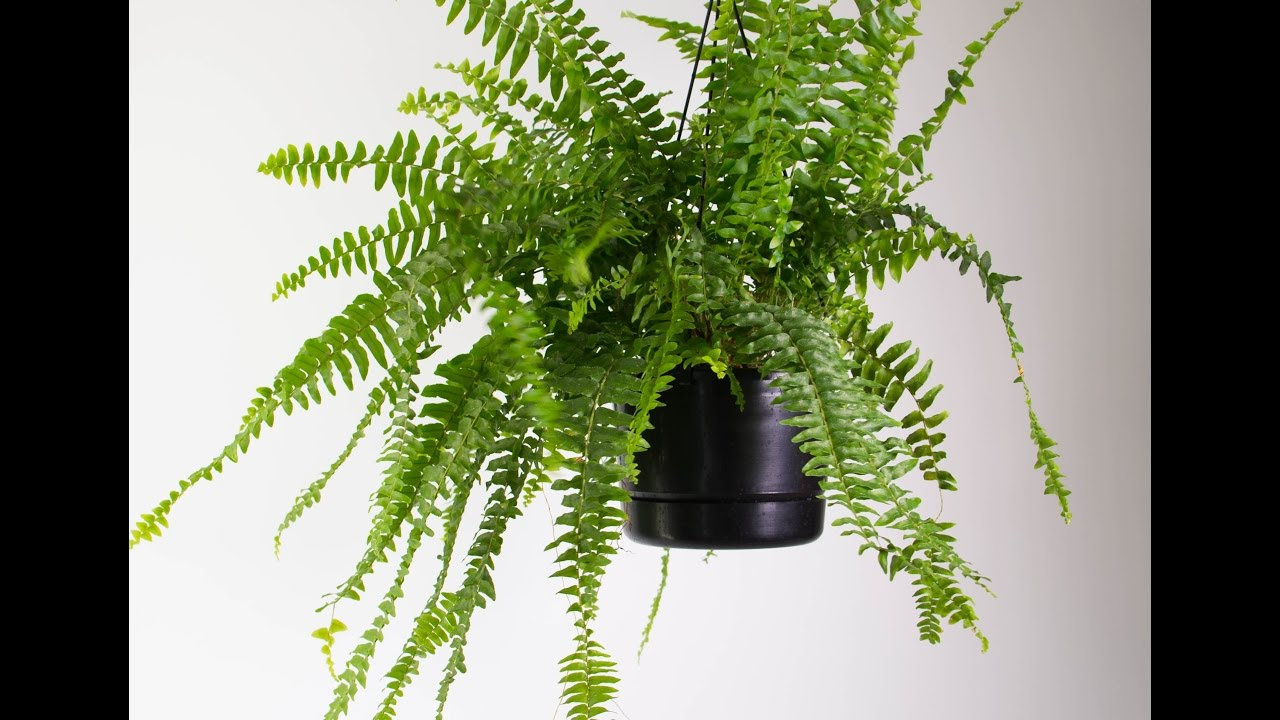 indoor boston fern